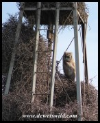 Verreaux's Eagle Owl chick at its nest in a windpump