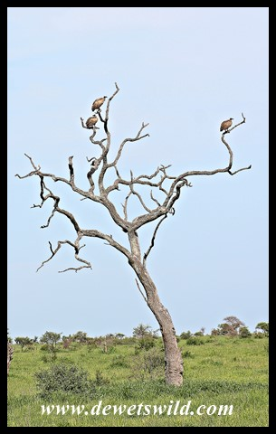 White-backed Vultures in a Leadwood stump