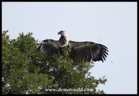 Immature African Fish Eagle