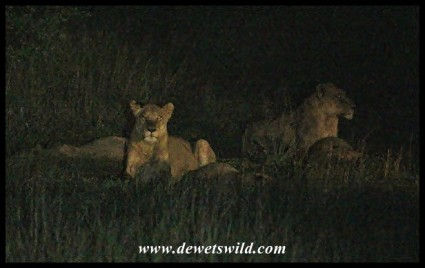 Lions in the dark, just outside camp