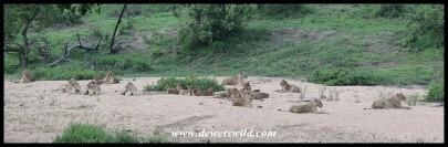 Huge pride of lions