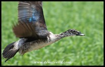 Comb Duck female