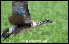 Knob-billed Duck female