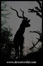 Kudu before sunrise