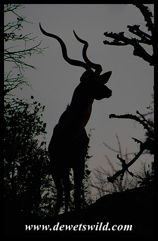 Kudu before sunrise
