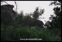 Slinking leopard