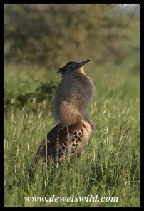 Kori Bustard male displaying