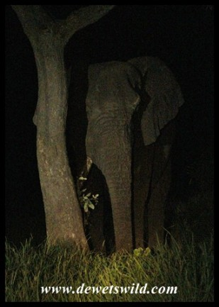 Elephant shy of the spotlight