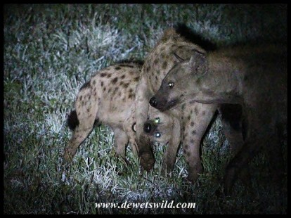 The way Hyenas get attention!