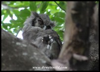 Verreaux;s Eagle Owl fast asleep in Letaba