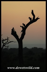 Ground Hornbills at sunrise