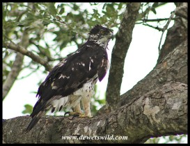 Ayres' Hawk Eagle