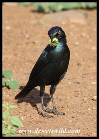 Cape Glossy Starling with a caterpillar