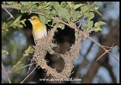 Female Lesser Masked Weaver