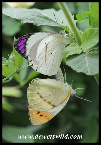 Mating Purple Tips