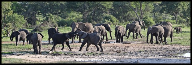 Elephants at Welverdiend waterhole