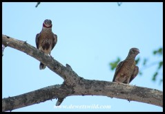 Cut-throat Finch pair - the male on the right