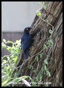 Cape Glossy Starling at its nest
