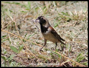 Cape Sparrow (a rare sight in Kruger)