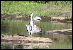 Grey Heron baking dry