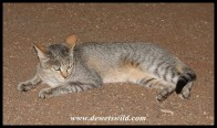 Satara's not-so-wild African Wild Cat