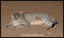 Satara's not-so-wild African Wild Cat