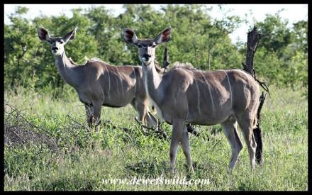 Kudu cows