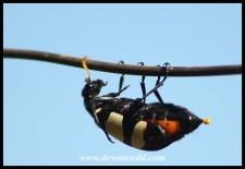 CMR Blister Beetle