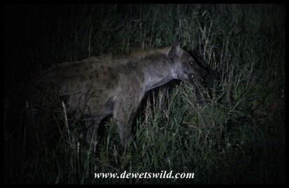 Hyena with a chunk of leg