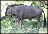Newborn Blue Wildebeest
