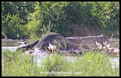 Elephant stuck in a muddy pan