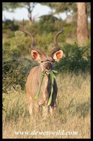 Beautiful Kudu bull