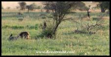 Jackal testing a lion's patience