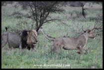 Domestic violence, lion style...