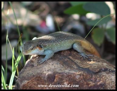 Rainbow Skink (male)
