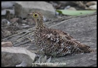 Double-banded Sandgrouse (female)