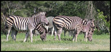 Plains Zebra family