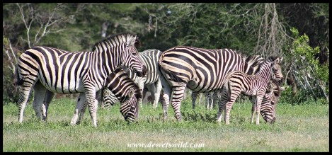 Plains Zebra family