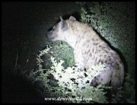 Hyena seen before sunrise