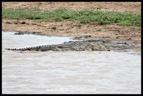 Crocodile at Girivane