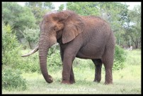 One-tusked Elephant Bull