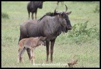 Baby Blue Wildebeest with mom