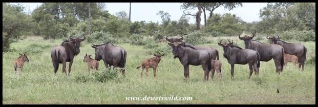 Blue Wildebeest creche