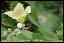 Assassin hidden in the flowers: a Crab Spider feeding on a careless Honey Bee