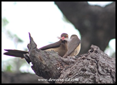 Red-billed Oxpecker lining nest with fur