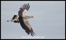 Secretarybird in flight