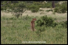 Cheetah on the road to Orpen