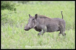 Warthog on the run
