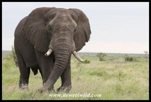 Big old elephant bull