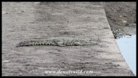 Small crocodile blocking a causeway